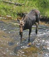 170px-Moose_crossing_river_in_yellowstone.