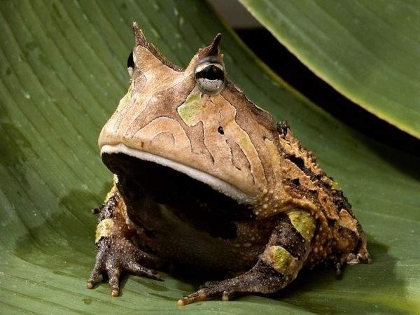 amazon-horned-frog_443_600x450.