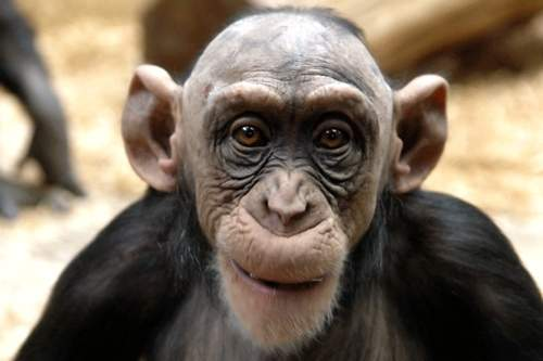 bald-monkey.