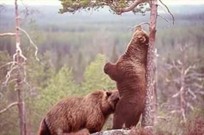 bear_bj_207.