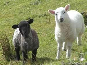 black sheep.