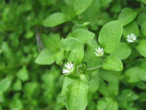 Chickweed.
