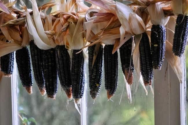 corn5.