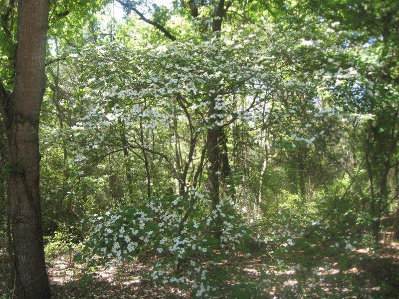 Dogwoods in bloom (Medium).