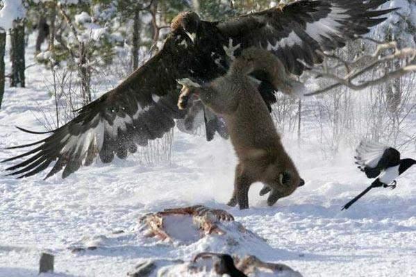 eagleversusfox.