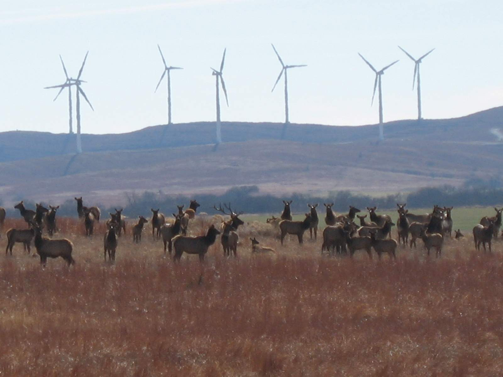 elk at site 3.JPG