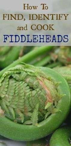 fiddle-head.