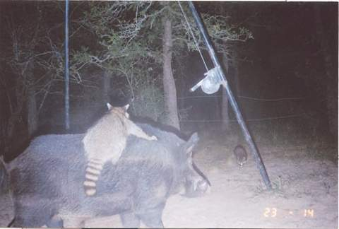 game-cam-coon.