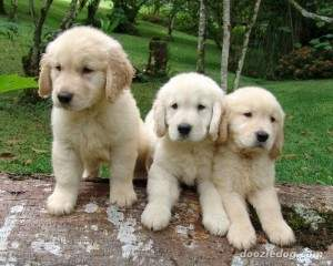 Golden-Retriever-Puppy-7-300x240.