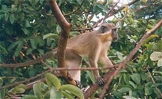 Green Monkey.