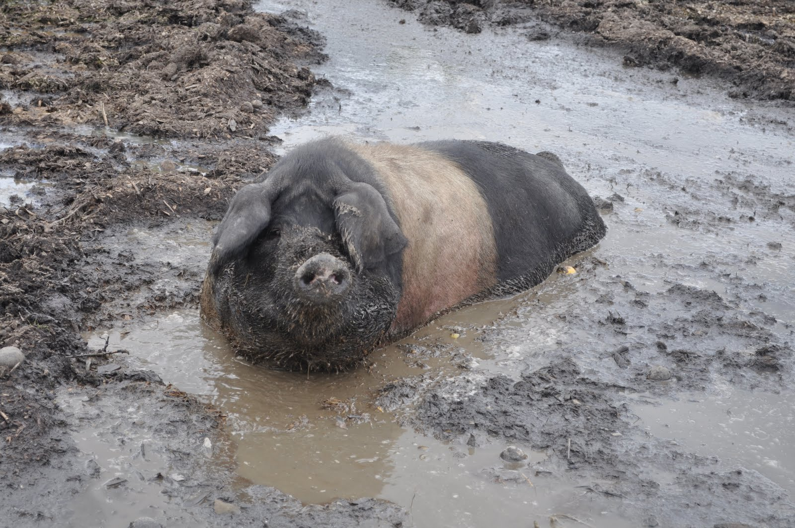 hog in wallow.