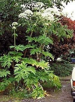 hogweed_flwr_caption (Small).