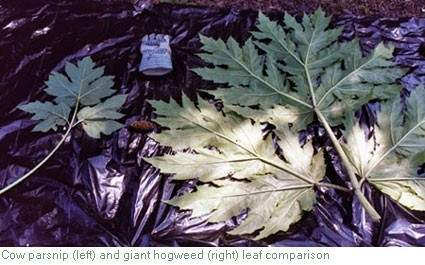 Hogweed_leaf_comp (Small).
