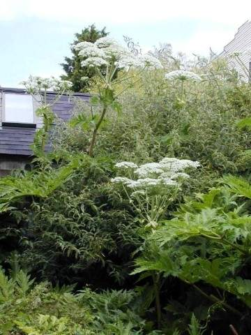 hogweed_plants (Small).