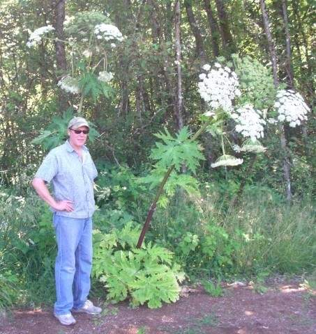 hogweed_Vashon_landowner (Small).JPG