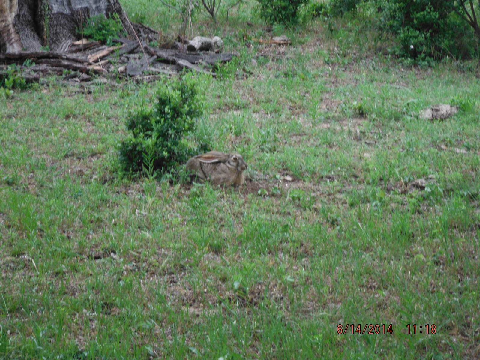 Jack Rabbit hiding in the open 3.JPG