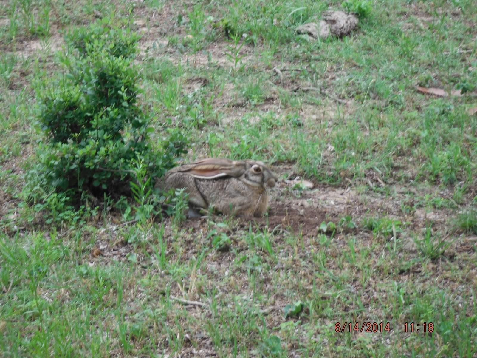 Jack Rabbit hiding in the open 4.JPG