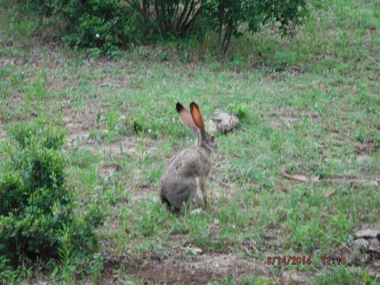 Jack Rabbit hiding now ready to run. 5.JPG