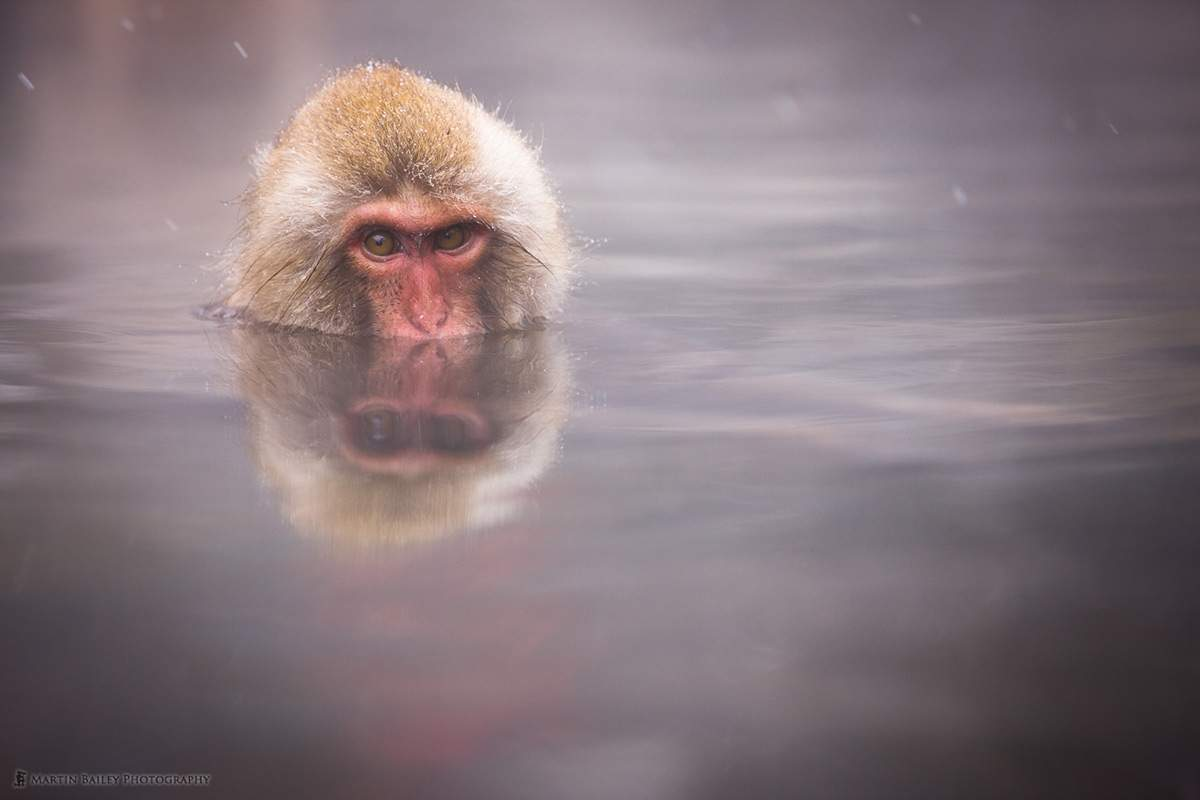 Jigokudani-Bathing-Snow-Monkey-Japan-Photo-Martin-Bailey-Photography.