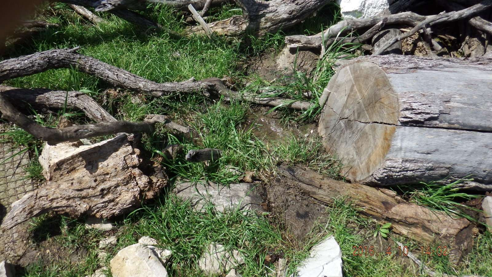 Mesquite Logs were here in the mud and water 1.JPG