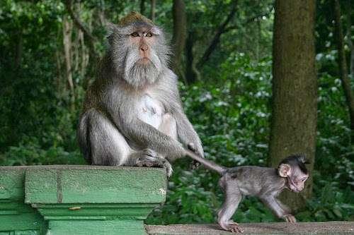 monkey forest balisemara 1.