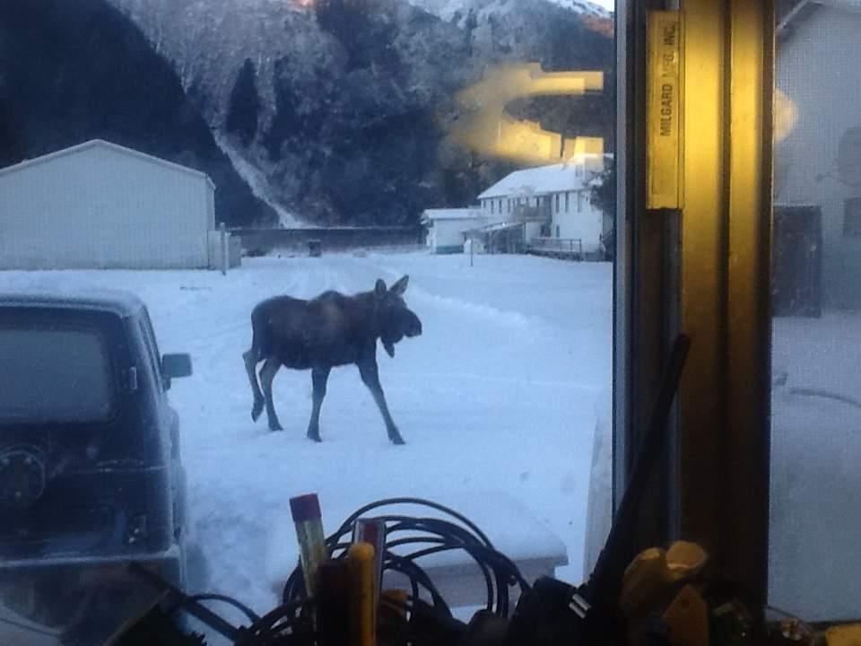 Moose-2013.