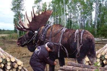 moose_in_harness_sm.