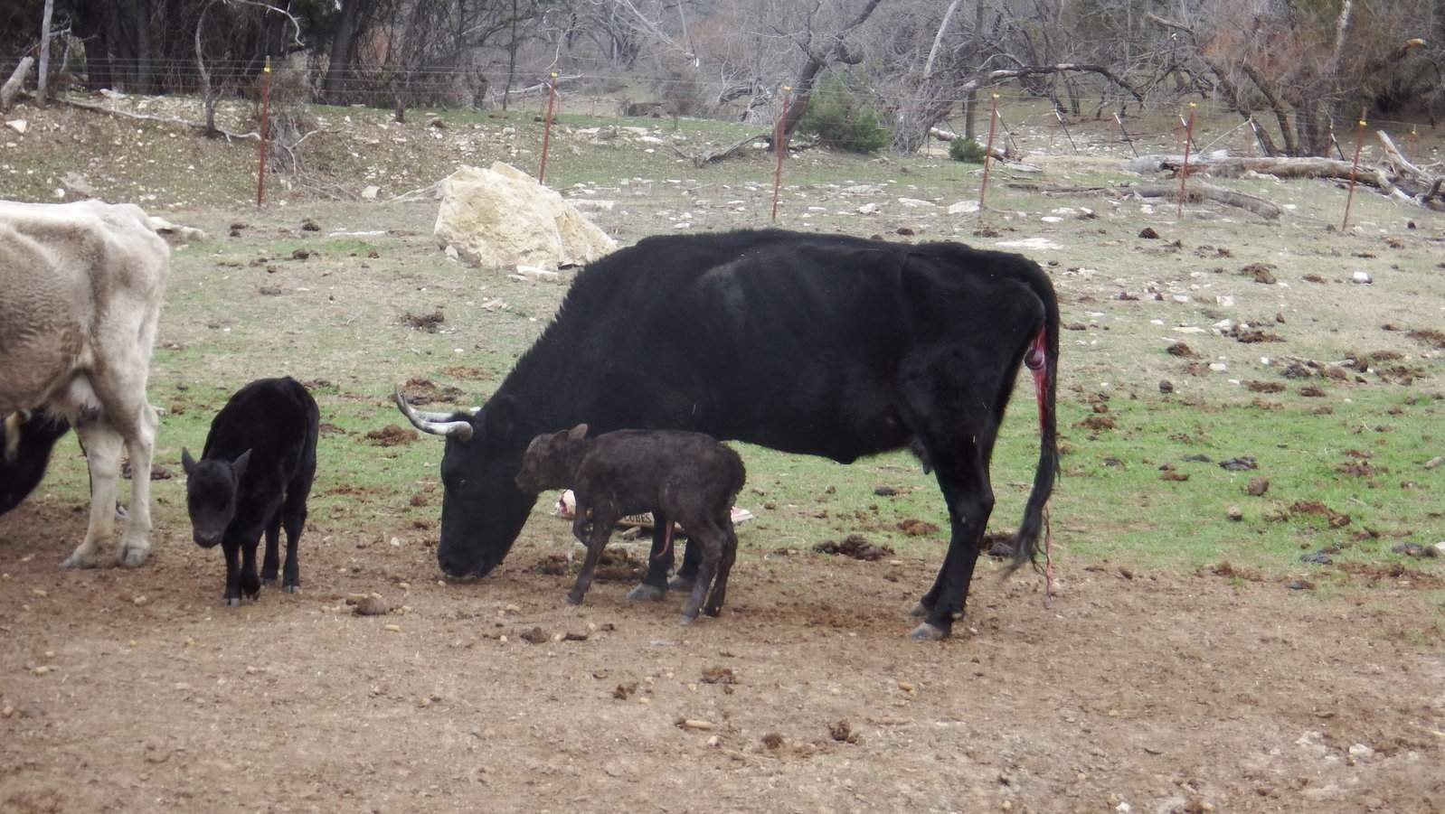 New Calf and Mom doing well 1,9,2015.JPG