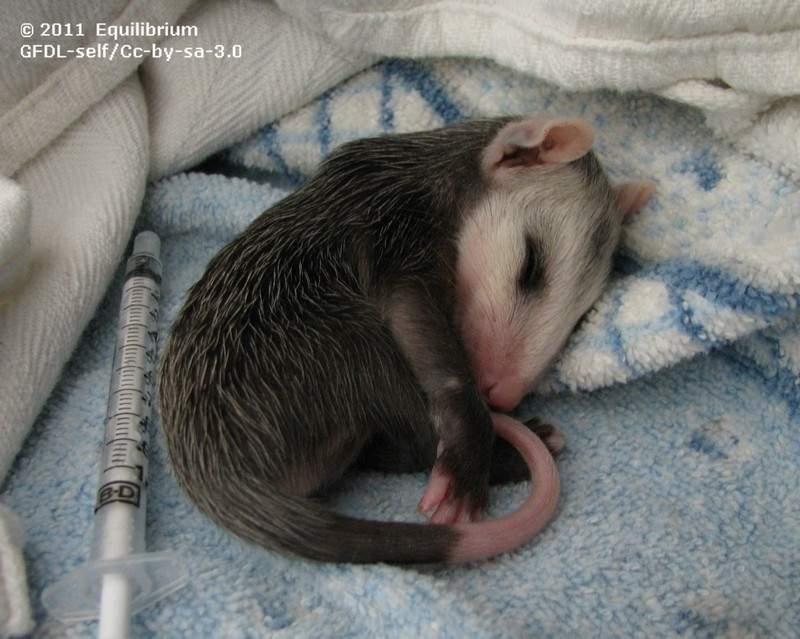 OpossumFromRoadKillMomma.