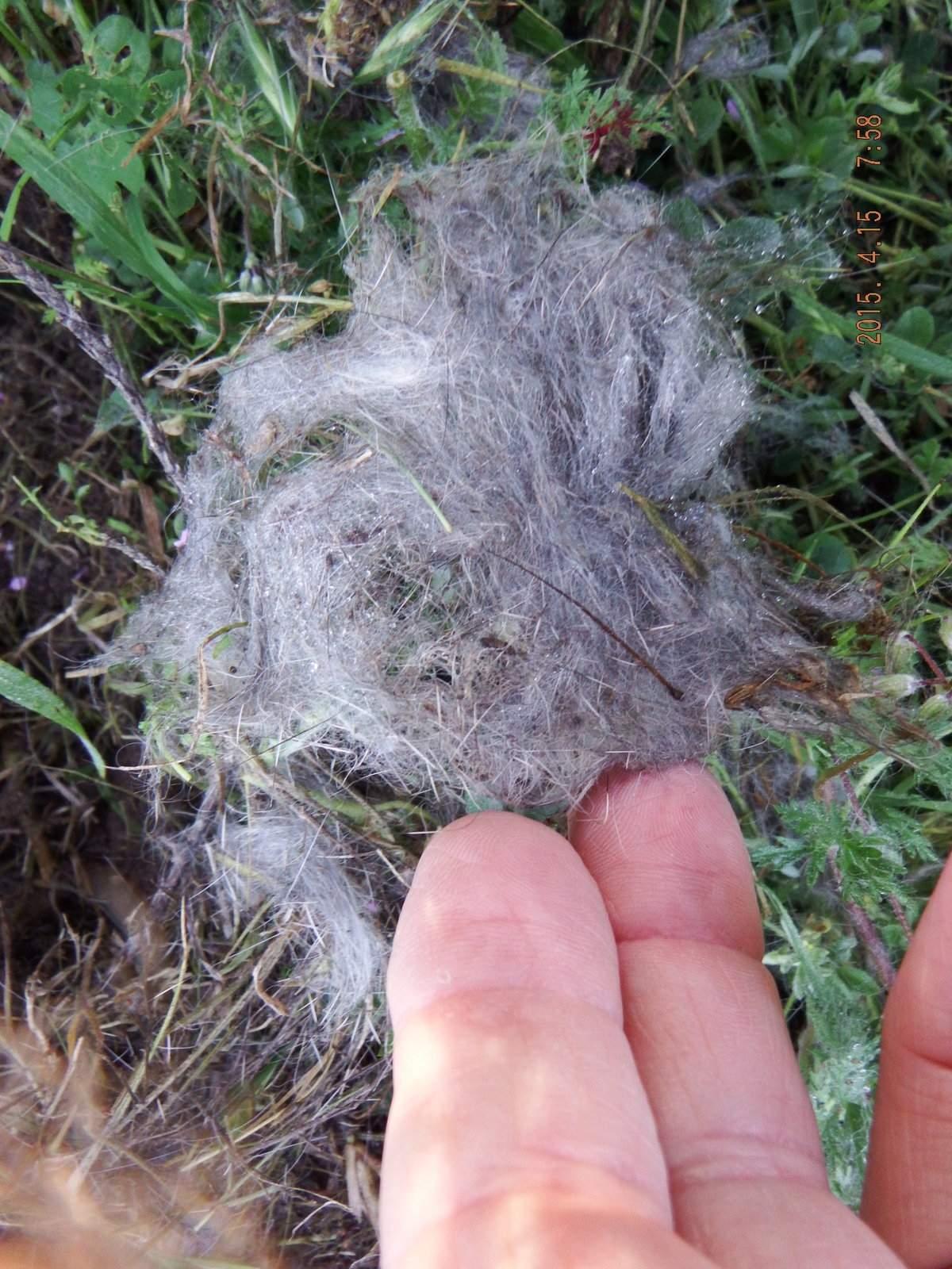 Rabbit Nest in the Grass 3.JPG