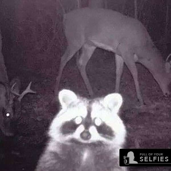 racoon.