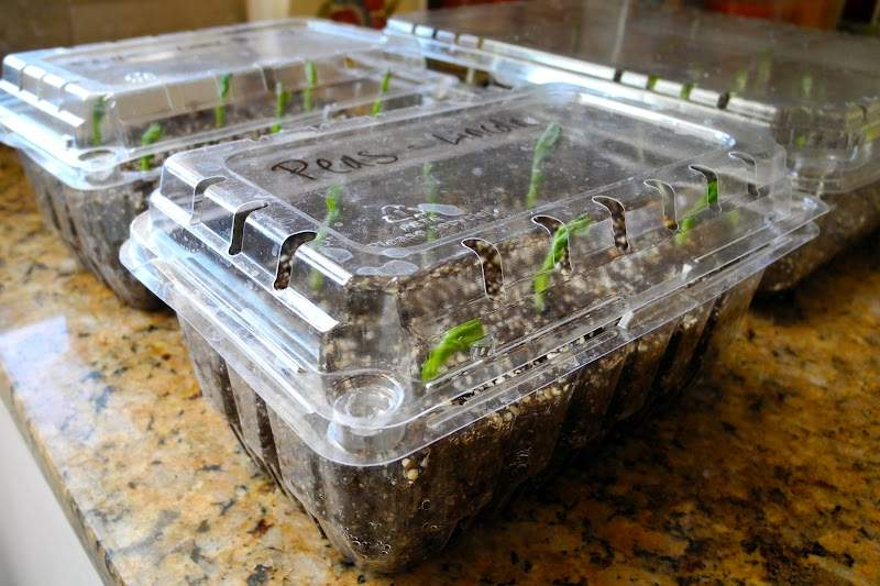 seedlings in strawberry containers.JPG
