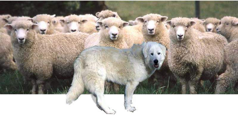 sheepdog-and-flock.JPG