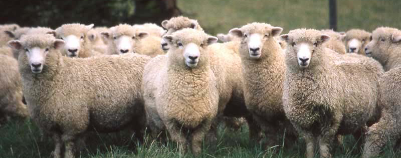 SheepFlock2.