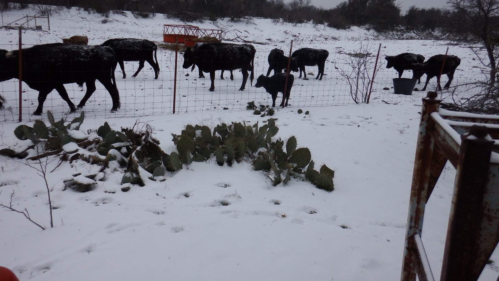 Snow and Sleet day for the cattle too.JPG