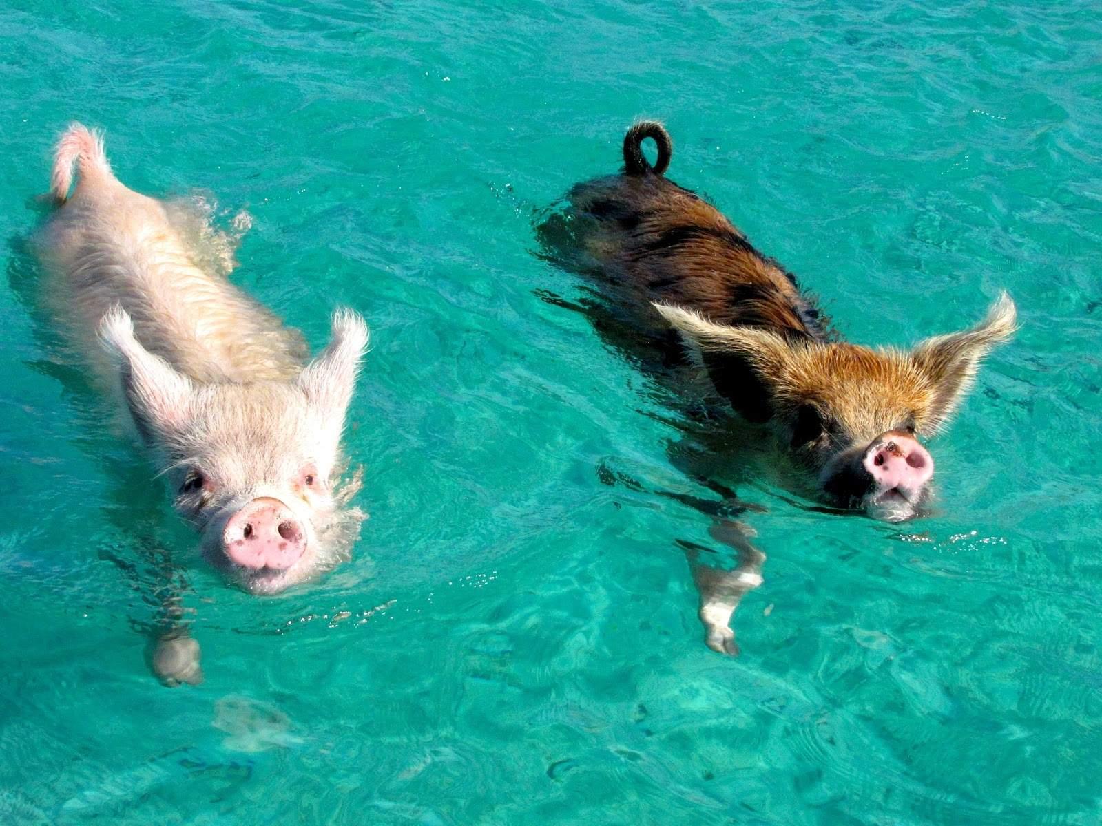 swimming-pigs.
