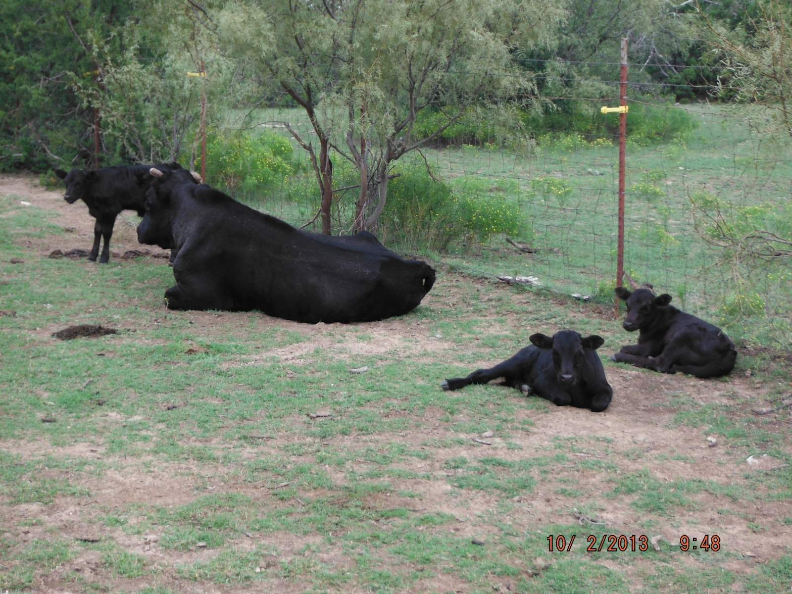 The Old Bull and 30% of his nursery..JPG