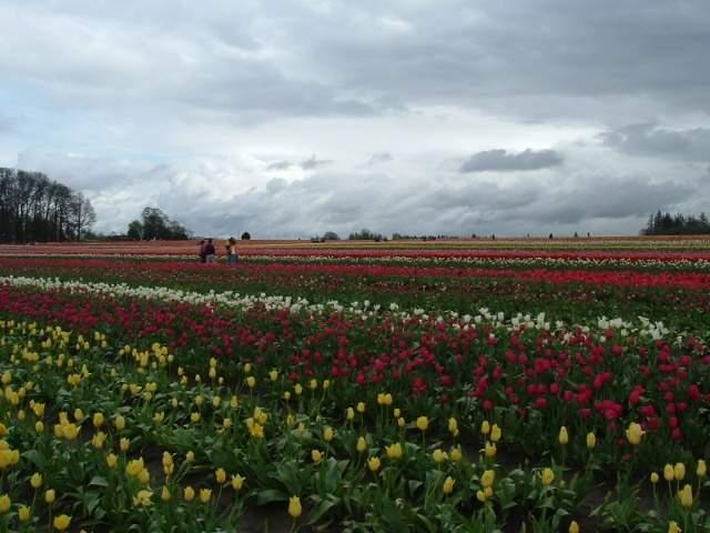 tulip0018.JPG