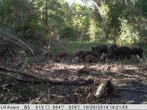 wild-hogs-feeding-breaux-bridge-louisiana-oct-2014-300x225.
