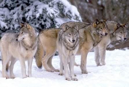 wolfpck2.