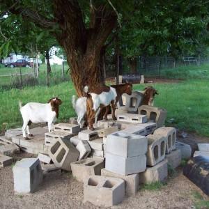goats 056.JPG