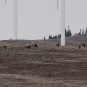 Elk visit 2015 7