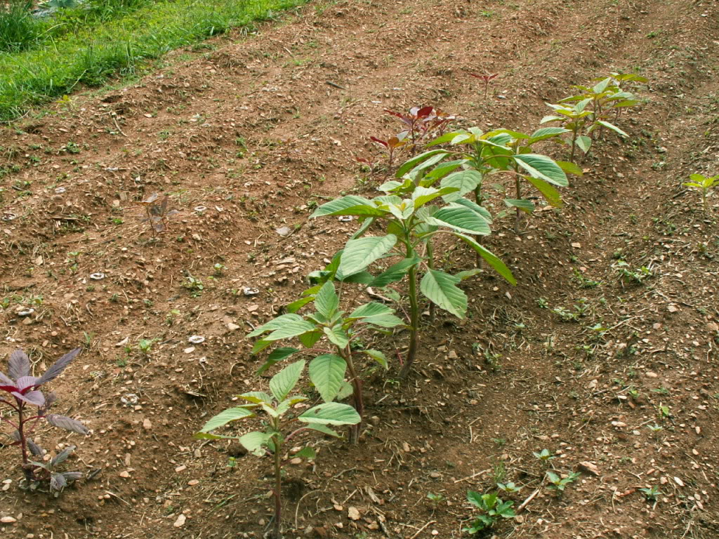Lots more info on Amaranth and seeds. | Survival Monkey Forums